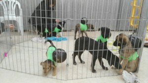 puppies in pen
